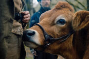 First Cow er solid og smal kost (A24)